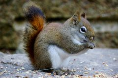 Baby Squirrel. Eating food on a rock royalty free stock photo