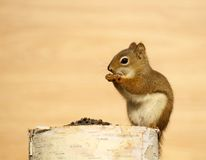 Baby squirrel eating seeds on a log. Close up image of a cute baby squirrel on birch log enjoying some sunflower seeds in the autumn on a warm background with stock image