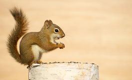 Baby squirrel eating seeds on a log. Royalty Free Stock Image