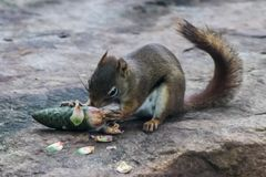 Young baby grey squirrel eating a pine comb. Baby squirrel eats a pine cone as they are readily available with lots of coniferous forests in Canada royalty free stock photos