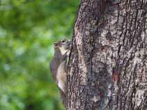 Baby squirrel escape to the tree. Baby squirrel escape to the tree scaring by people royalty free stock photo