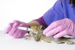 Baby Squirrel Feeding royalty free stock photography
