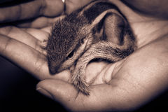 Baby Squirrel. About few days old stock images