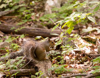 Baby squirrel in forest. Cute small baby squirrel on forest floor eating a pine cone stock images