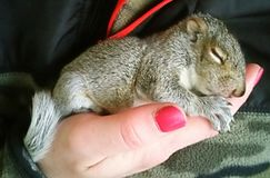 Baby Squirrel. Holding in my hand a little baby squirrel royalty free stock image