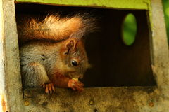 Baby squirrel Royalty Free Stock Images