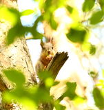 Baby squirrel Stock Photo