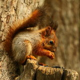 Baby squirrel. Little squirrel on a tree eating seeds royalty free stock photos