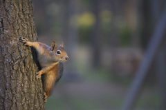 Baby Squirrel. A squirrel looks inquiringly at the photographer while holding on to a tree royalty free stock photos