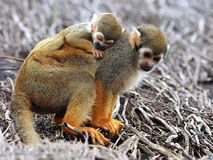 Baby Squirrel Monkey. Sleeping on his mother's back royalty free stock image