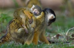 Baby squirrel monkey asleep on mothers back. Cute photo of a baby squirrel monkey asleep on mothers back stock photo
