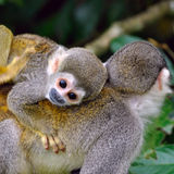 Baby Squirrel Monkey. On the back of his mom in amazon rainforest, Ecuador stock photos
