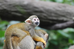 Baby Squirrel Monkey Clinging to It`s Mother`s Back stock images