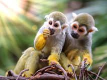 Baby Squirrel Monkey and Mother Watching !. Baby 6-month old Squirrel Monkey & x28;Saimiri& x29; eating while a watchful mother is next to him royalty free stock photos