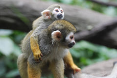Baby Squirrel Monkey on it`s Mother`s Back royalty free stock photography