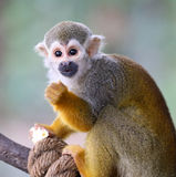 Baby Squirrel Monkey Saimiri Eating Popcorn !. Baby 6-month old Squirrel Monday Saimiri eating popcorn stock photos