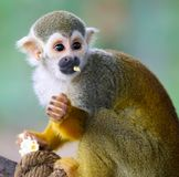 Baby Squirrel Monkey Saimiri Eating Popcorn !. Baby 6-month old Squirrel Monday Saimiri eating popcorn stock images