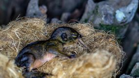 Baby squirrel in the nest. Nature and environment royalty free stock images