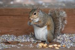 Baby squirrel with nuts in its hands royalty free stock image