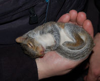 Baby squirrel napping. Orphaned baby squirrel sleeping in hand royalty free stock images