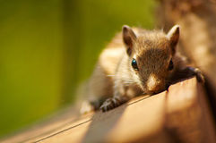 Baby Squirrel Posing. Close up or macro image of a baby squirrel posing royalty free stock image