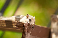 Baby Squirrel Posing. Close up or macro image of a baby squirrel posing royalty free stock images