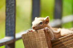 Baby Squirrel Posing. Close up or macro image of a baby squirrel posing stock photo