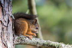 Baby squirrel. Sitting at branch royalty free stock photo