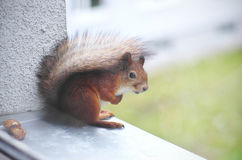 Baby squirrel. Sitting at the windowsill royalty free stock photography