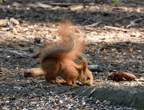 Baby squirrel sniffing the ground. Cute baby squirrel sniffing the ground in forest stock photo