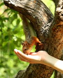 Baby squirrel takes nuts from man's hand Stock Photography
