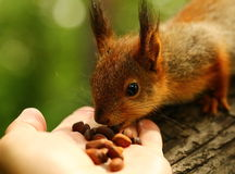 Baby squirrel takes nuts from my hand Royalty Free Stock Photos