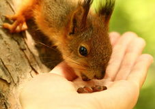Baby squirrel takes nuts from my hand Stock Photo