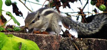 Baby squirrel. A three stripped baby squirrel forging in the vines and bushes royalty free stock photo
