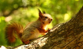 Baby squirrel on a tree. Curious little squirrel on a tree waiting for nuts royalty free stock photo