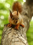 Baby squirrel on a tree Royalty Free Stock Photography