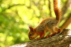 Baby squirrel on a tree Royalty Free Stock Image