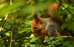 Baby squirrel on a tree Royalty Free Stock Images