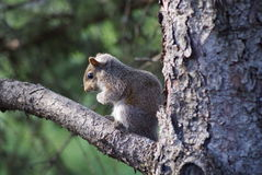 Baby Squirrel In The Tree. A little baby squirrel on a branch in the tree royalty free stock photography