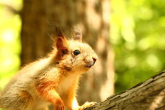Baby squirrel on a tree Stock Images