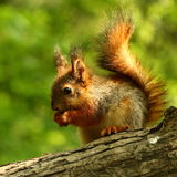 Baby squirrel on a tree Stock Photography