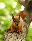 Baby squirrel on a tree Royalty Free Stock Photo