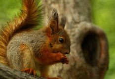 Baby squirrel on a tree stock photo