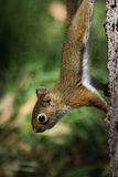 Baby squirrel on a tree Royalty Free Stock Photos