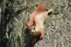 Baby Squirrels Stock Image