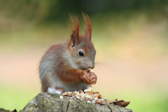 Baby squirrels royalty free stock photography