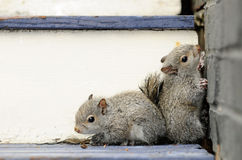 Baby Squirrels Stock Photo