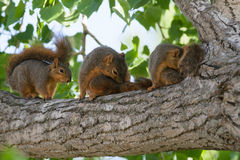 Baby Squirrels in a Tree. A mother and two baby squirrels on a cottonwood tree branch stock image
