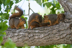 Baby Squirrels in a Tree. A mother and two baby squirrels on a cottonwood tree branch stock images
