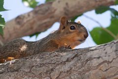 Baby Squirrel in a Tree. A baby squirrel on a cottonwood tree branch stock photography